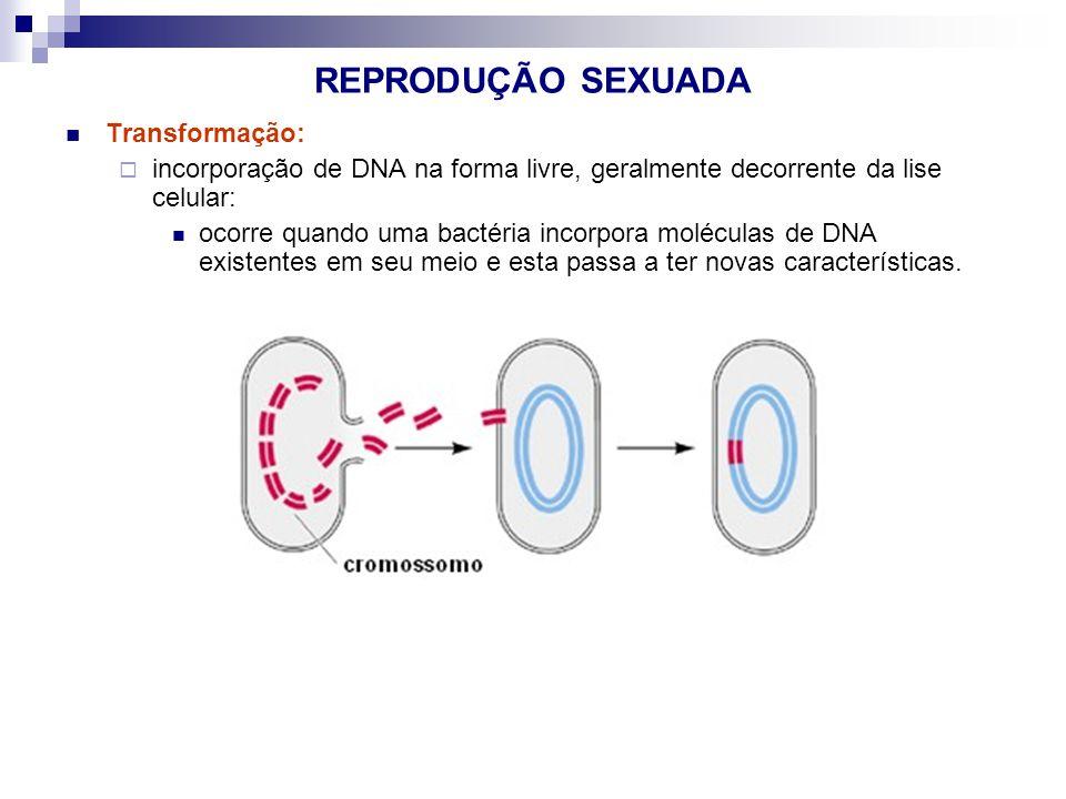 REPRODUÇÃO SEXUADA Transformação: incorporação de DNA na forma livre, geralmente decorrente da lise celular: ocorre quando uma bactéria incorpora molé