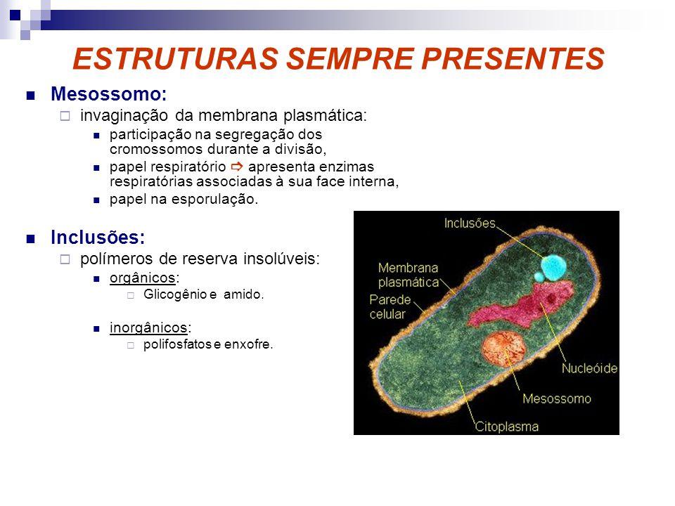 ESTRUTURAS SEMPRE PRESENTES Mesossomo: invaginação da membrana plasmática: participação na segregação dos cromossomos durante a divisão, papel respira