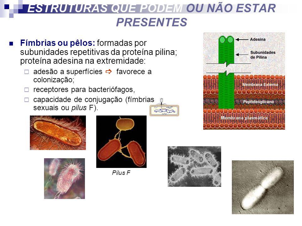 Fímbrias ou pêlos: formadas por subunidades repetitivas da proteína pilina; proteína adesina na extremidade: adesão a superfícies favorece a colonizaç