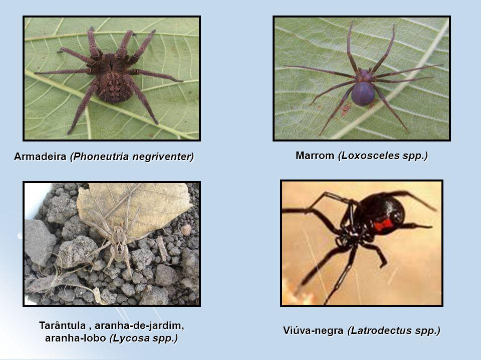 Armadeira (Phoneutria negriventer) Marrom (Loxosceles spp.) Tarântula, aranha-de-jardim, aranha-lobo (Lycosa spp.) Viúva-negra (Latrodectus spp.)