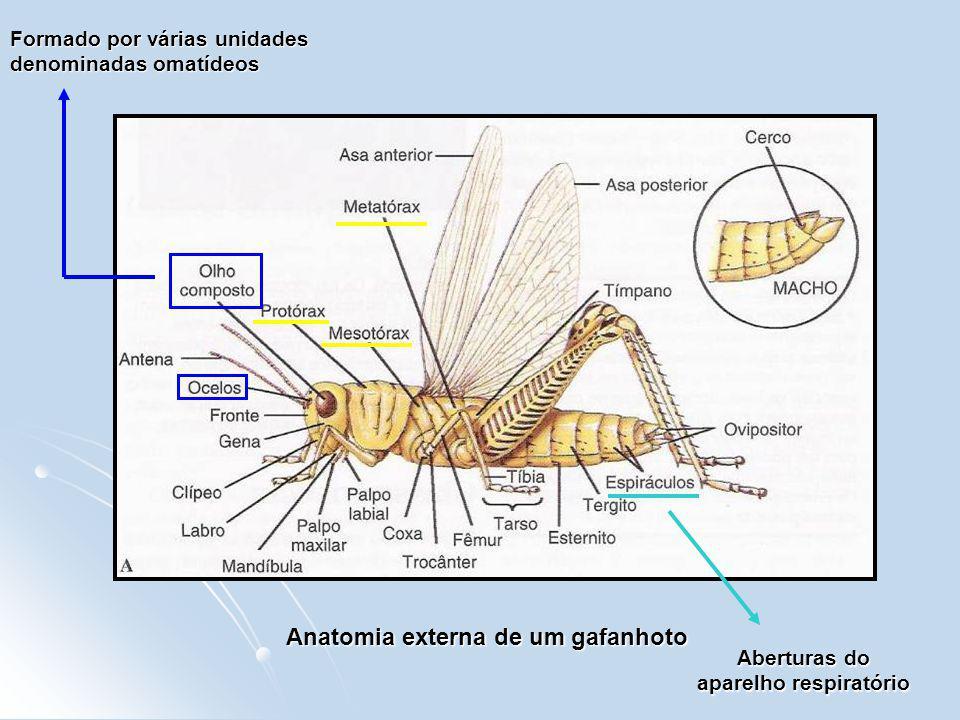 Anatomia externa de um gafanhoto Aberturas do aparelho respiratório Formado por várias unidades denominadas omatídeos