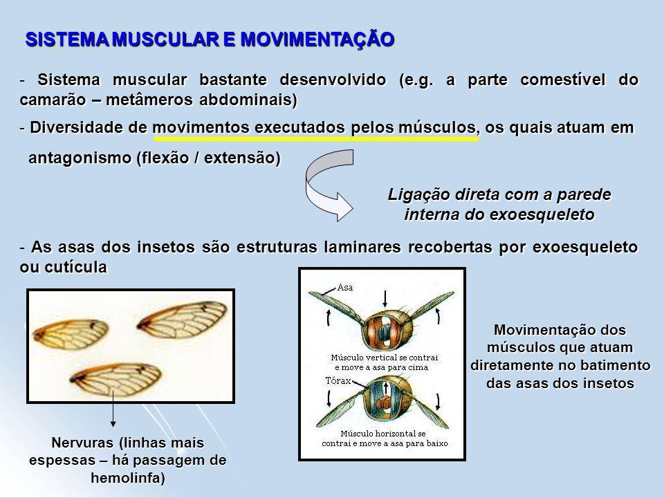 SISTEMA MUSCULAR E MOVIMENTAÇÃO Sistema muscular bastante desenvolvido (e.g. a parte comestível do camarão – metâmeros abdominais) - Sistema muscular