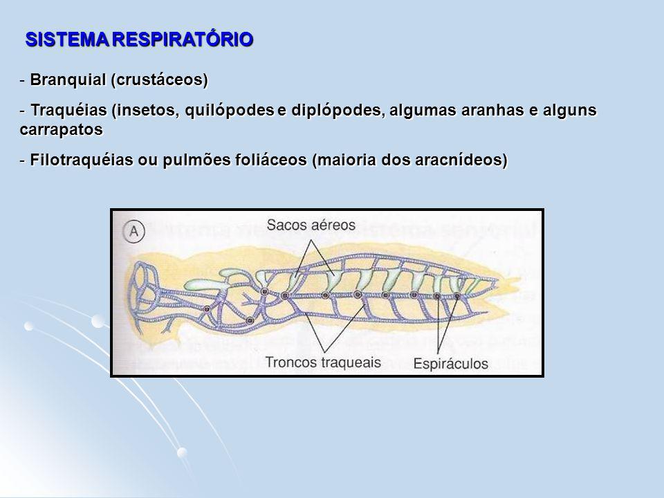 SISTEMA RESPIRATÓRIO Branquial (crustáceos) - Branquial (crustáceos) - Traquéias (insetos, quilópodes e diplópodes, algumas aranhas e alguns carrapato