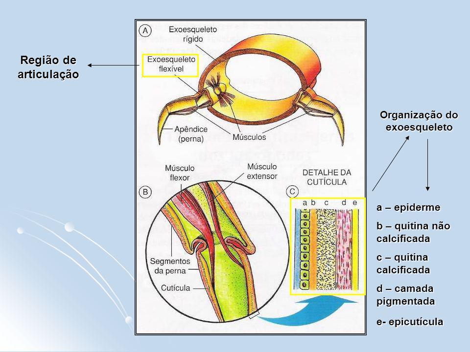 Região de articulação Organização do exoesqueleto a – epiderme b – quitina não calcificada c – quitina calcificada d – camada pigmentada e- epicutícul
