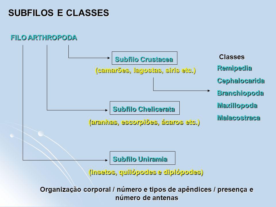 SUBFILOS E CLASSES FILO ARTHROPODA Subfilo Crustacea RemipediaCephalocaridaBranchiopodaMaxillopodaMalacostraca Classes Subfilo Chelicerata (camarões,