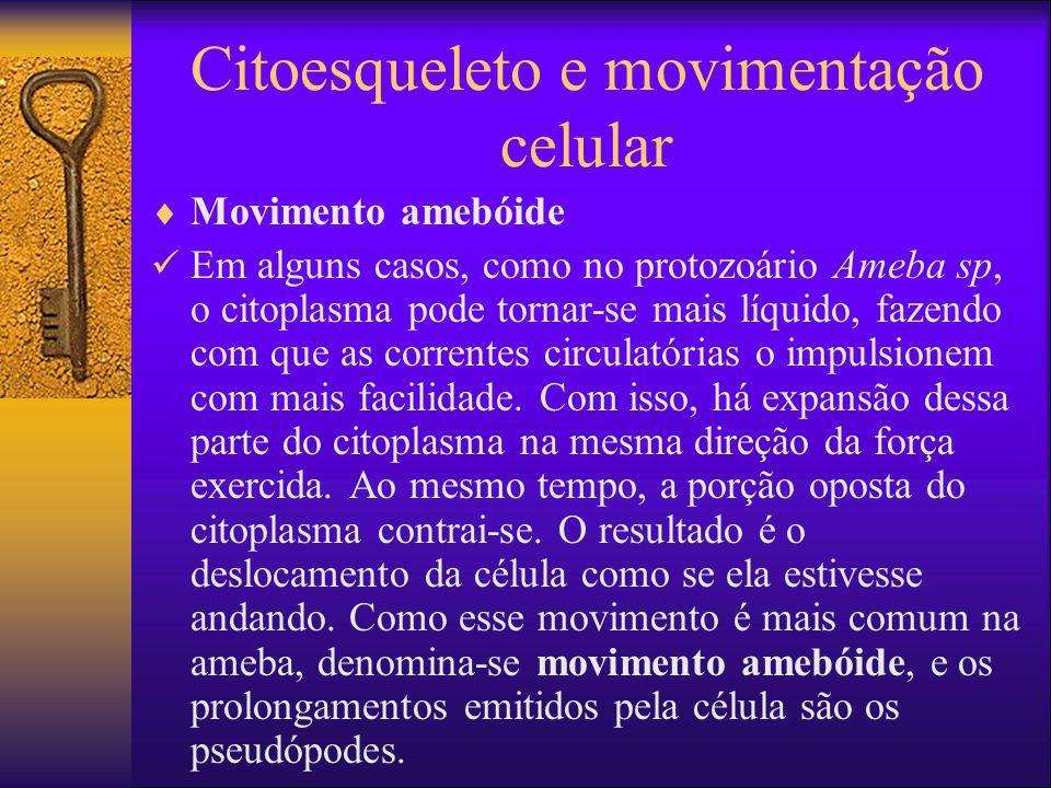 Citoesqueleto e movimentação celular Movimento amebóide Em alguns casos, como no protozoário Ameba sp, o citoplasma pode tornar-se mais líquido, fazen