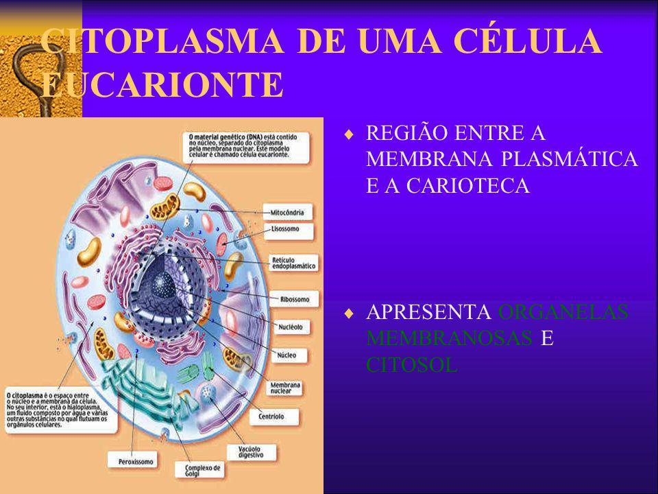 O citoplasma de células eucarióticas O citoplasma de uma célula eucariótica apresenta a mesma composição do citoplasma de uma célula procariótica, a diferença fundamental é que nesse tipo de célula encontramos um número maior de organelas mergulhadas no citoplasma, que em conjunto, garantem o funcionamento e, conseqüentemente, a vida da célula.