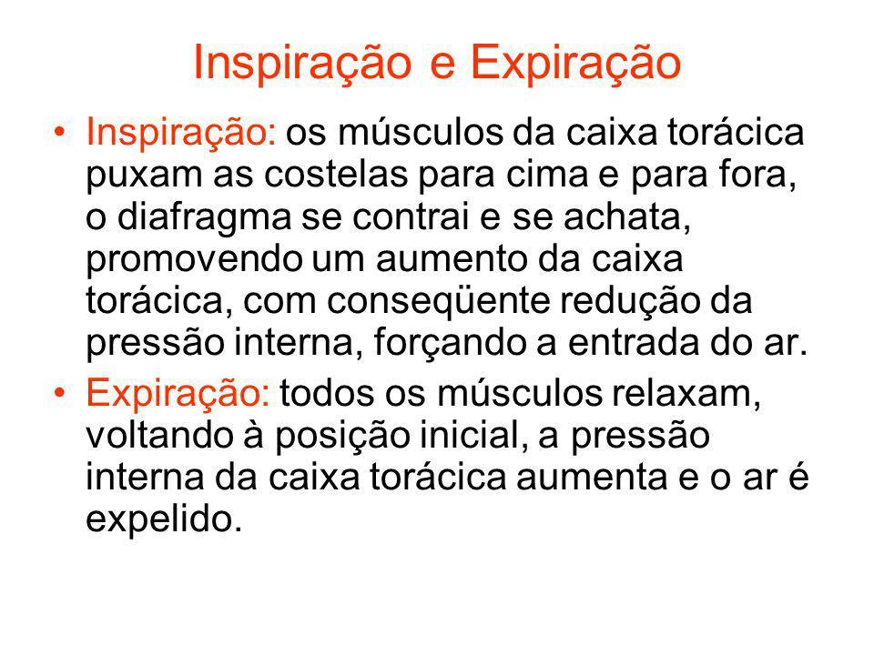Inspiração e Expiração Inspiração: os músculos da caixa torácica puxam as costelas para cima e para fora, o diafragma se contrai e se achata, promoven