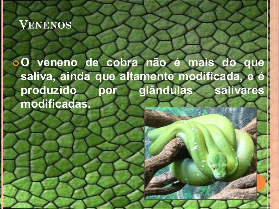 V ENENOS O veneno de cobra não é mais do que saliva, ainda que altamente modificada, e é produzido por glândulas salivares modificadas.