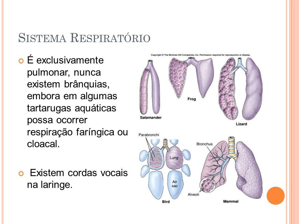 S ISTEMA R ESPIRATÓRIO É exclusivamente pulmonar, nunca existem brânquias, embora em algumas tartarugas aquáticas possa ocorrer respiração faríngica ou cloacal.