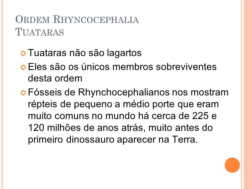 O RDEM R HYNCOCEPHALIA T UATARAS Tuataras não são lagartos Eles são os únicos membros sobreviventes desta ordem Fósseis de Rhynchocephalianos nos mostram répteis de pequeno a médio porte que eram muito comuns no mundo há cerca de 225 e 120 milhões de anos atrás, muito antes do primeiro dinossauro aparecer na Terra.