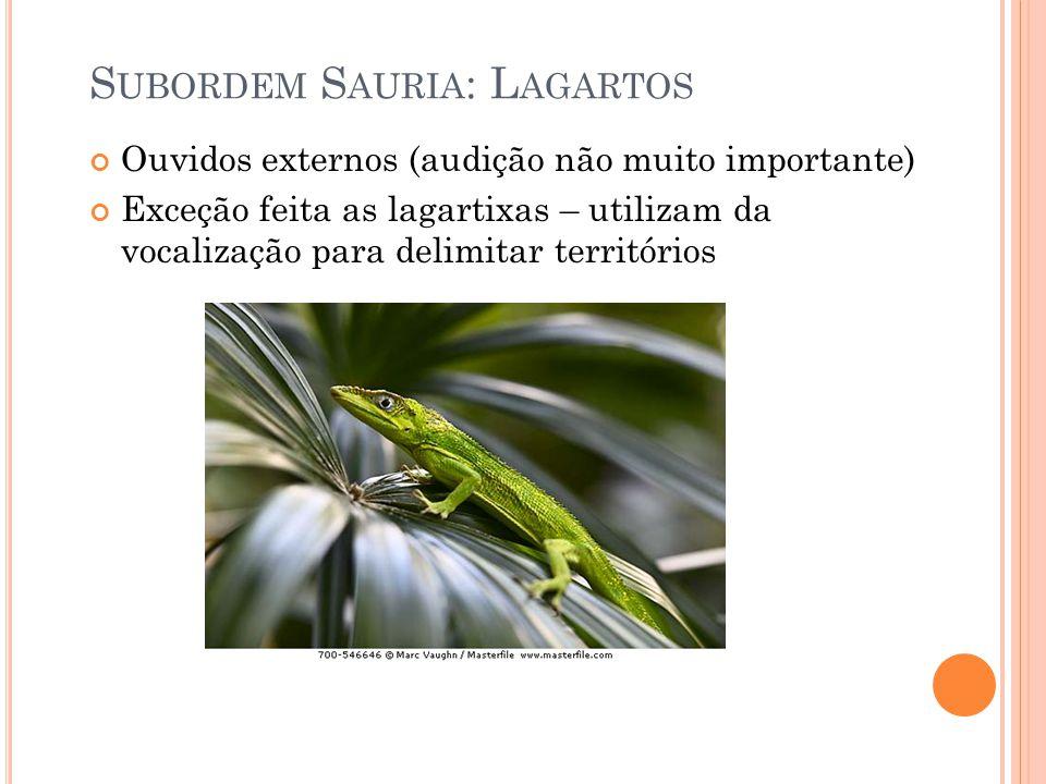 S UBORDEM S AURIA : L AGARTOS Ouvidos externos (audição não muito importante) Exceção feita as lagartixas – utilizam da vocalização para delimitar territórios