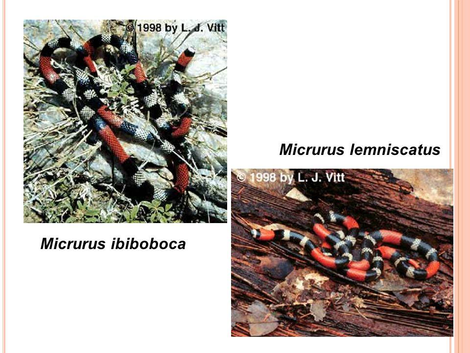 Micrurus ibiboboca Micrurus lemniscatus