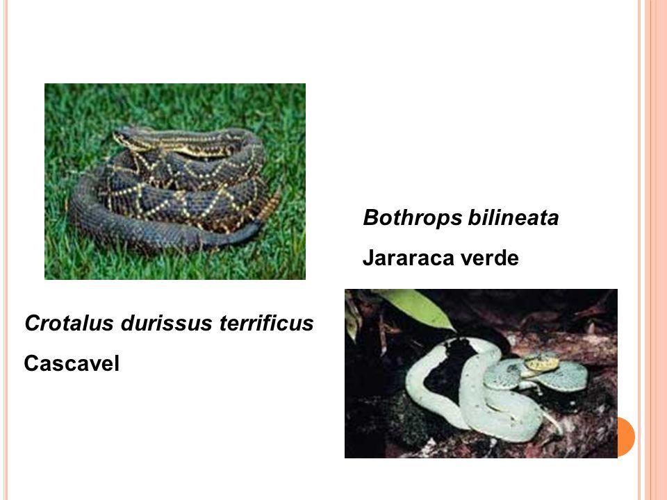 Crotalus durissus terrificus Cascavel Bothrops bilineata Jararaca verde