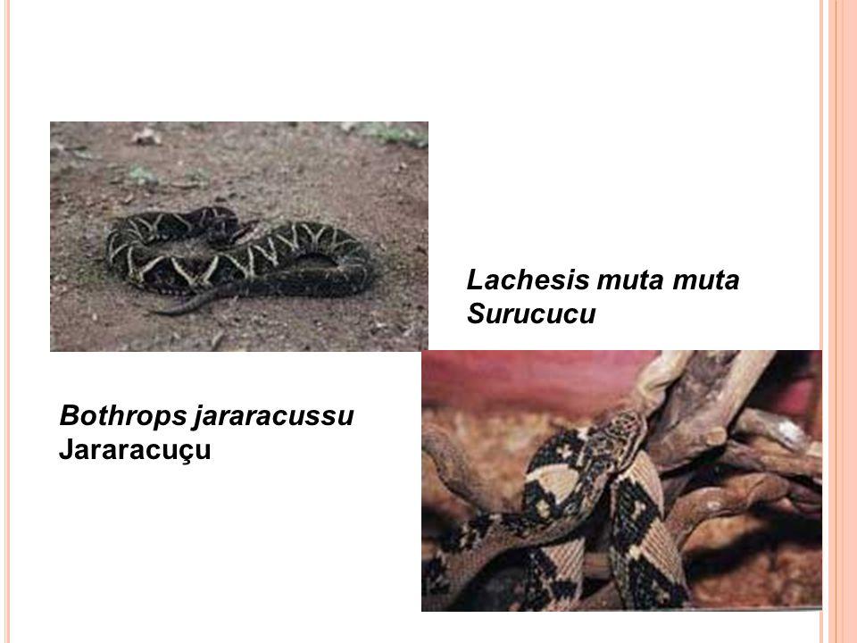 Bothrops jararacussu Jararacuçu Lachesis muta muta Surucucu
