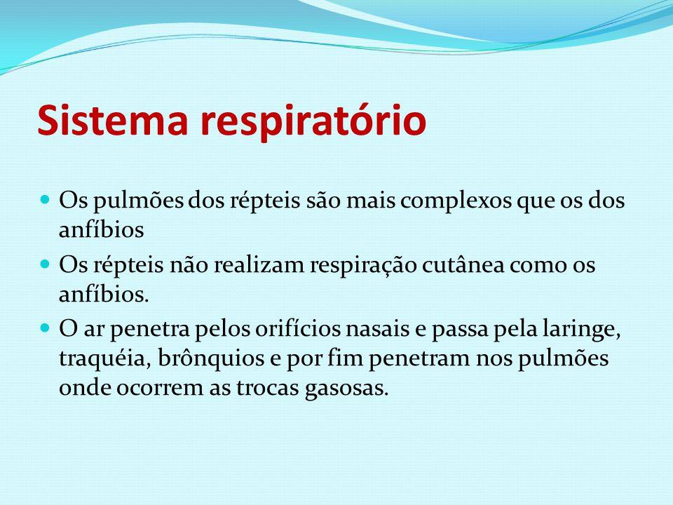 Sistema respiratório Os pulmões dos répteis são mais complexos que os dos anfíbios Os répteis não realizam respiração cutânea como os anfíbios. O ar p