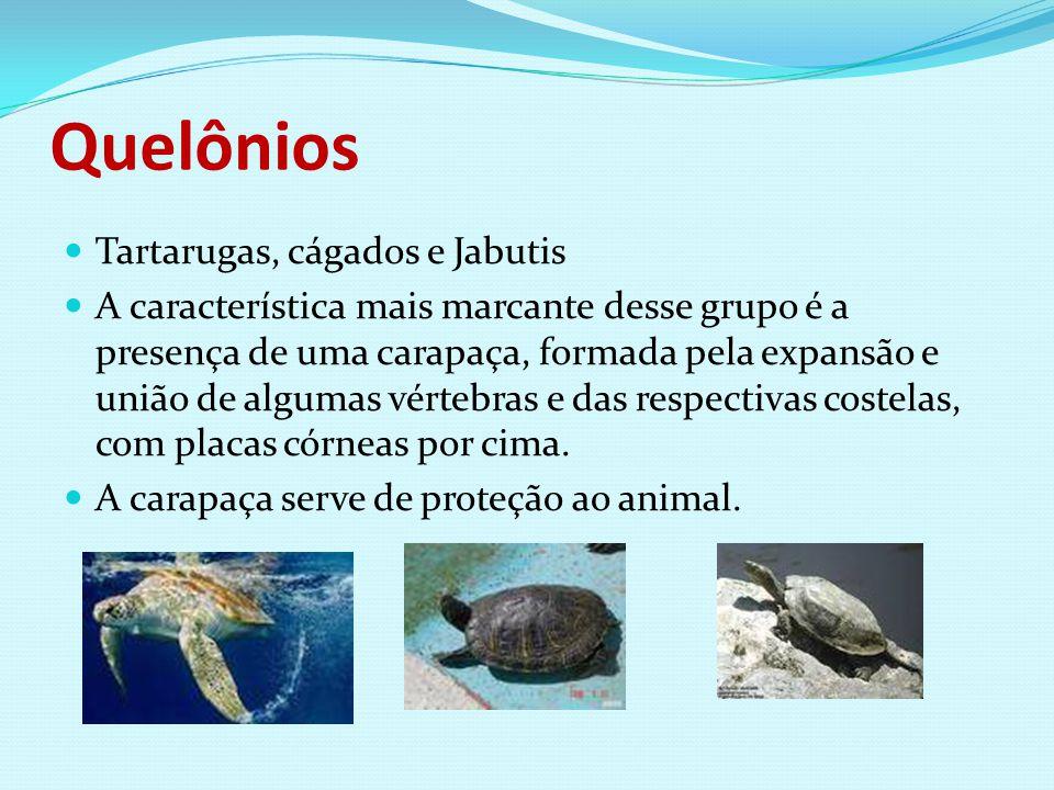 Quelônios Tartarugas, cágados e Jabutis A característica mais marcante desse grupo é a presença de uma carapaça, formada pela expansão e união de algu