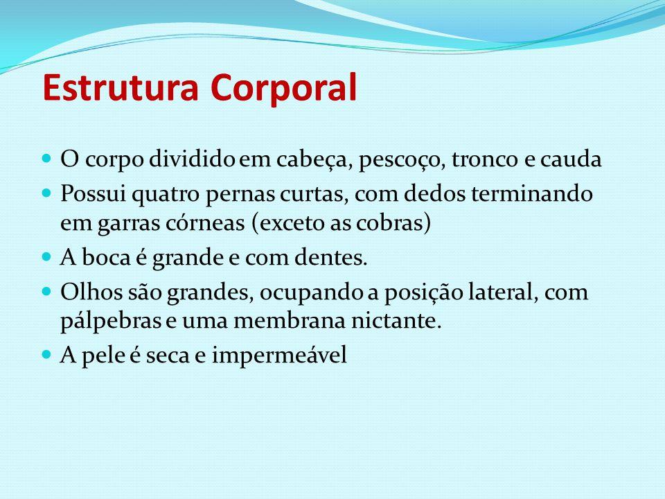 Estrutura Corporal O corpo dividido em cabeça, pescoço, tronco e cauda Possui quatro pernas curtas, com dedos terminando em garras córneas (exceto as