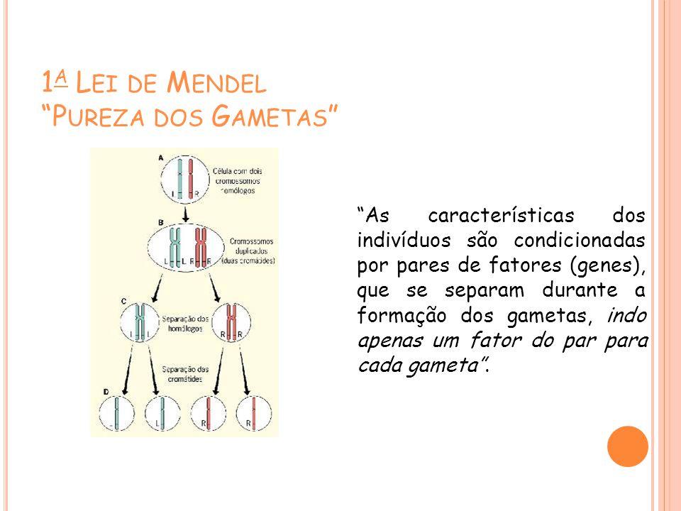 1 A L EI DE M ENDEL P UREZA DOS G AMETAS As características dos indivíduos são condicionadas por pares de fatores (genes), que se separam durante a formação dos gametas, indo apenas um fator do par para cada gameta.