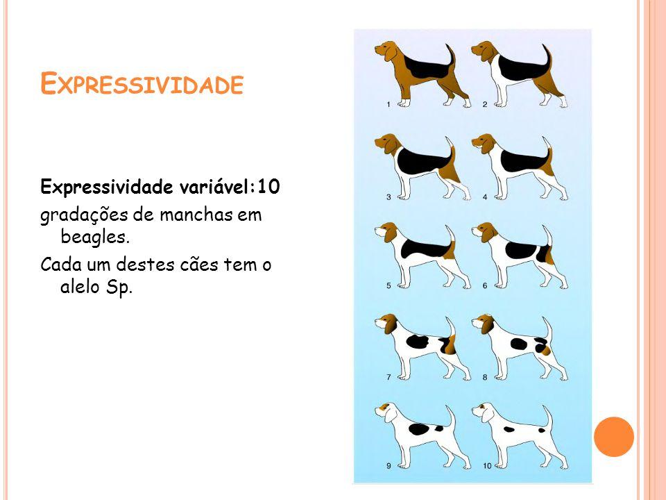 E XPRESSIVIDADE Expressividade variável:10 gradações de manchas em beagles. Cada um destes cães tem o alelo Sp.