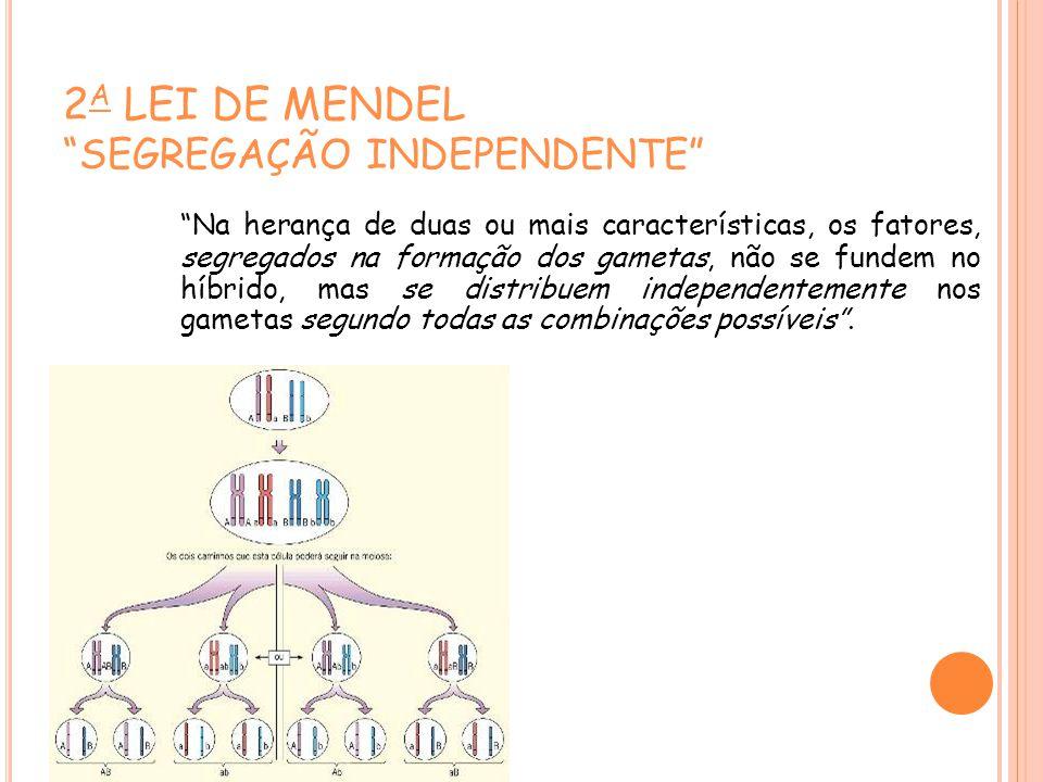2 A LEI DE MENDEL SEGREGAÇÃO INDEPENDENTE Na herança de duas ou mais características, os fatores, segregados na formação dos gametas, não se fundem no