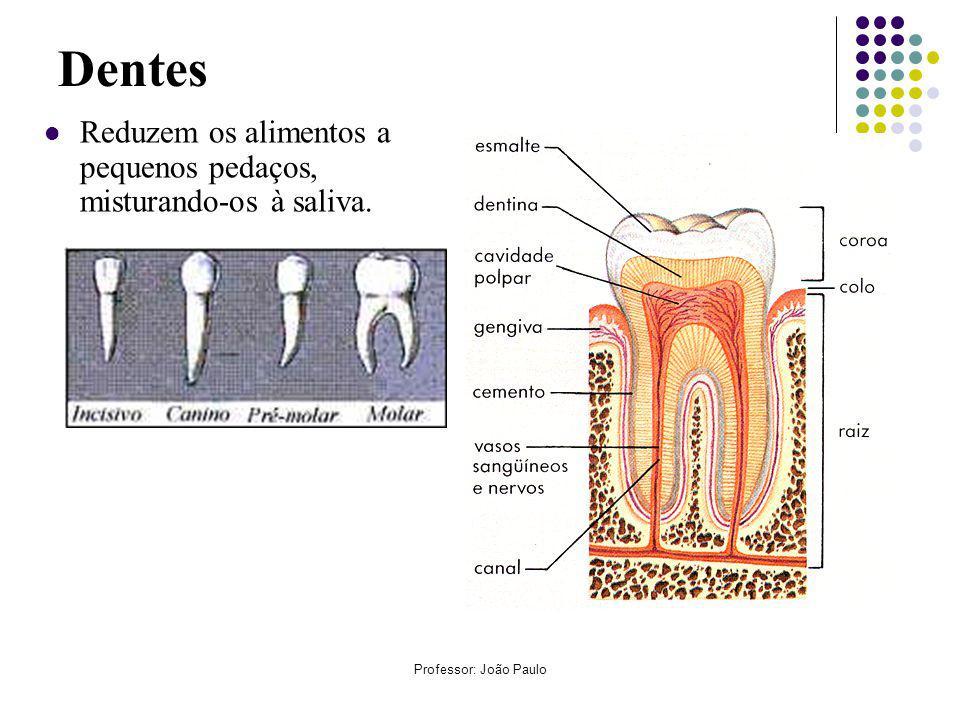 Professor: João Paulo Dentes Reduzem os alimentos a pequenos pedaços, misturando-os à saliva.