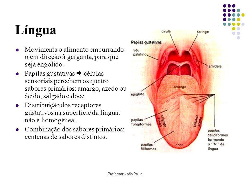 Professor: João Paulo Etapas da digestão química Secreção digestiva Órgão secretorLocal de açãoEnzimaspH ótimo Saliva glândulas salivares bocaptialina neutro a ligeiramente ácido Suco gástricomucosa gástricaestômagopepsinaácido Suco pancreáticopâncreasintestino delgado Tripsina, quimiotripsina, amilase, lipase, nucleases alcalino (básico) Suco entérico (intestinal) intestino delgado (duodeno) intestino delgado Enteroquinase, peptidases, nucleases, dissacaridases, maltase, sacarase, lactase alcalino