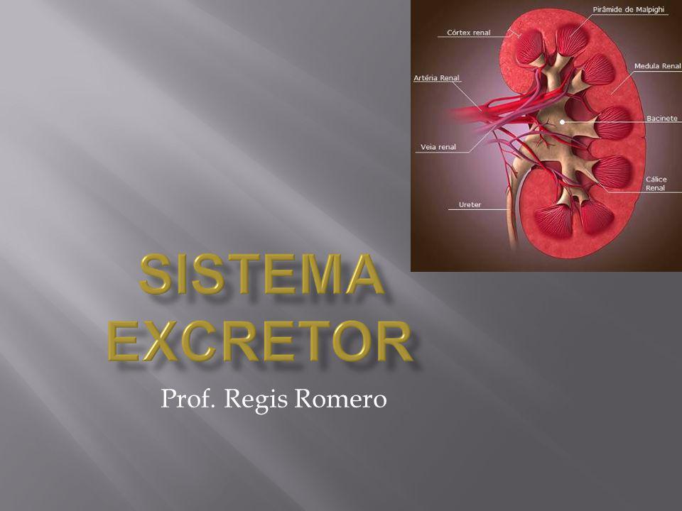 Trajeto da Circulação Renal e formação da Urina Artéria Aorta Artéria Renal Arteríola Aferentes (córtex renal) Glomérulo (capilar glomerular ou glomérulo de Malphigi) Cápsula de Bowmann (filtrado glomerular ou urina inicial) Túbulo Contornado (ou contorcido) Proximal (microvilosidades) Alça de Henle Túbulo Contornado (contorcido) Distal CáliceBacinete Ureter Bexiga Túbulo Coletor Xixi Urina ou Filtrado Glomerular Sangue Alta Pressão Filtração Reabsorção Secreção Arteríola Eferente Veia Renal Veia Cava Inferior Glicose Reabsorve Na+ K+ Cortex Supra Renal (aldosterona) Reabsorção Hipófise A.D.H., hormônio anti-diurético (vasopressina) Reabsorção de H2O