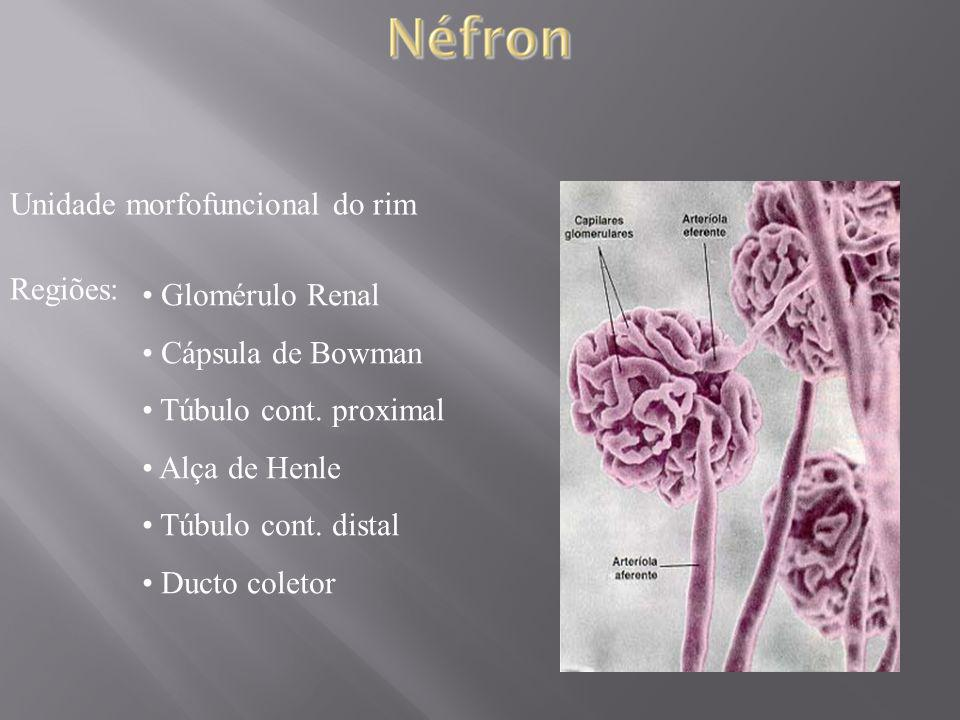 Unidade morfofuncional do rim Regiões: Glomérulo Renal Cápsula de Bowman Túbulo cont. proximal Alça de Henle Túbulo cont. distal Ducto coletor