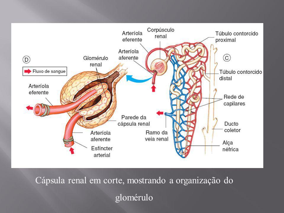Cápsula renal em corte, mostrando a organização do glomérulo