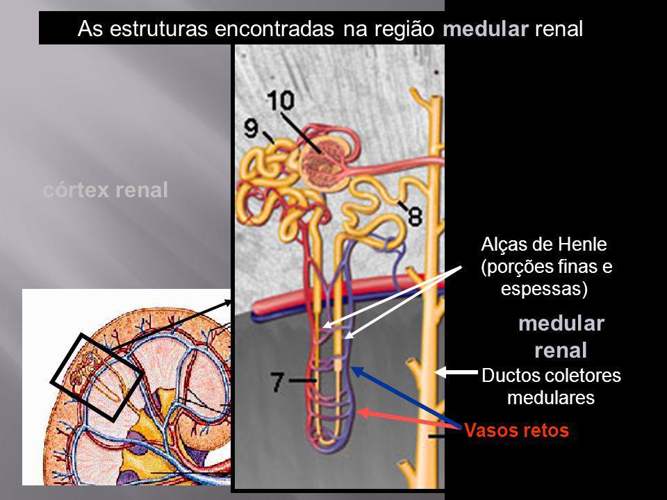 Ductos coletores medulares Vasos retos Alças de Henle (porções finas e espessas) medular renal As estruturas encontradas na região medular renal córte
