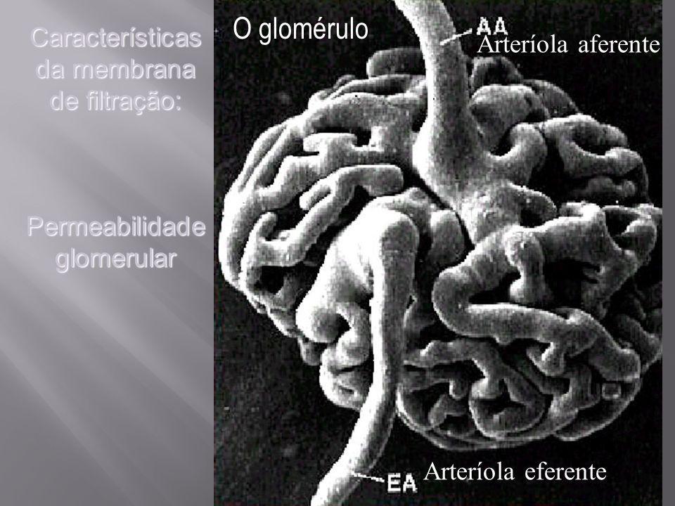 O glomérulo Arteríola aferente Arteríola eferente Características da membrana de filtração: Permeabilidade glomerular