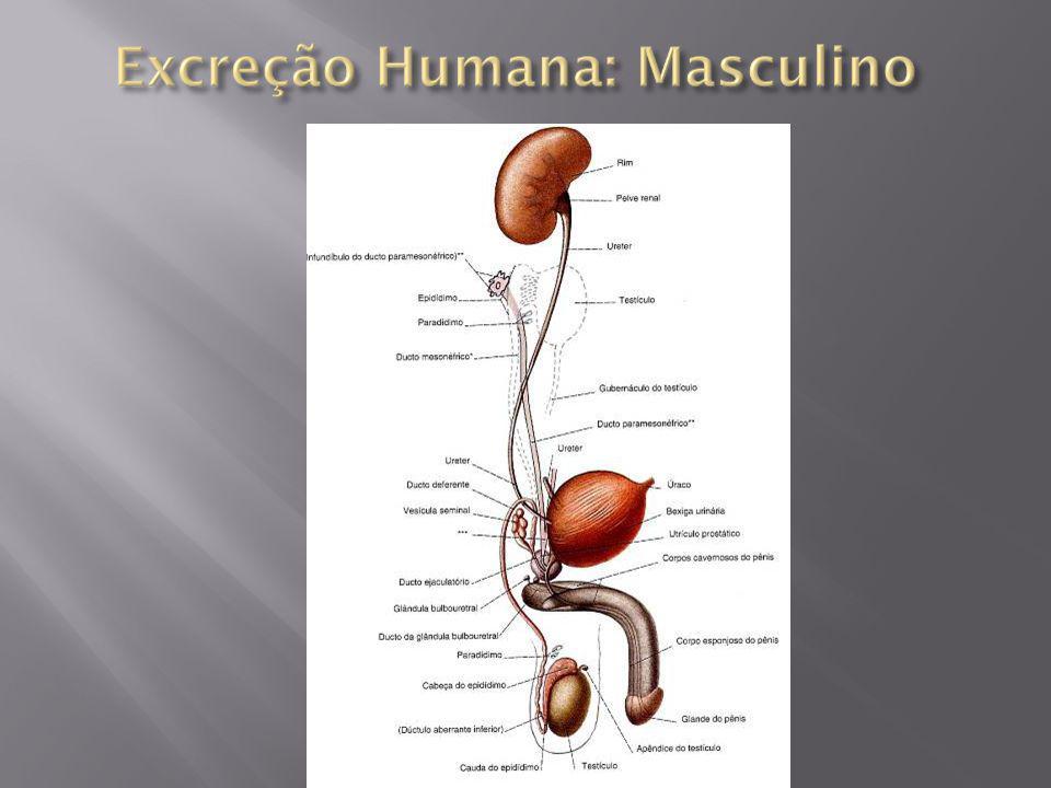 Dois órgãos grandes Avermelhados Forma de feijão Vascularizados Situam-se na parte dorsal do abdome (retroperitoneais), logo abaixo do diafragma, um de cada lado da coluna vertebral; Possuem uma cápsula fibrosa, que reveste o córtex (mais externo), e a medula, porção mais interna; Apresentam milhões de unidades filtradoras denominadas néfrons.