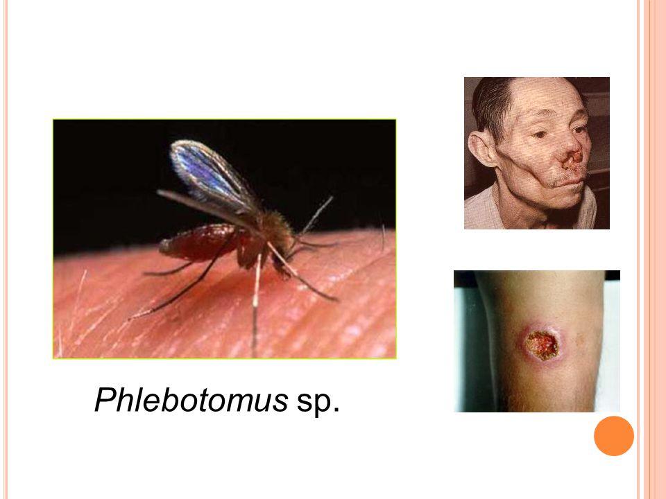 Phlebotomus sp.