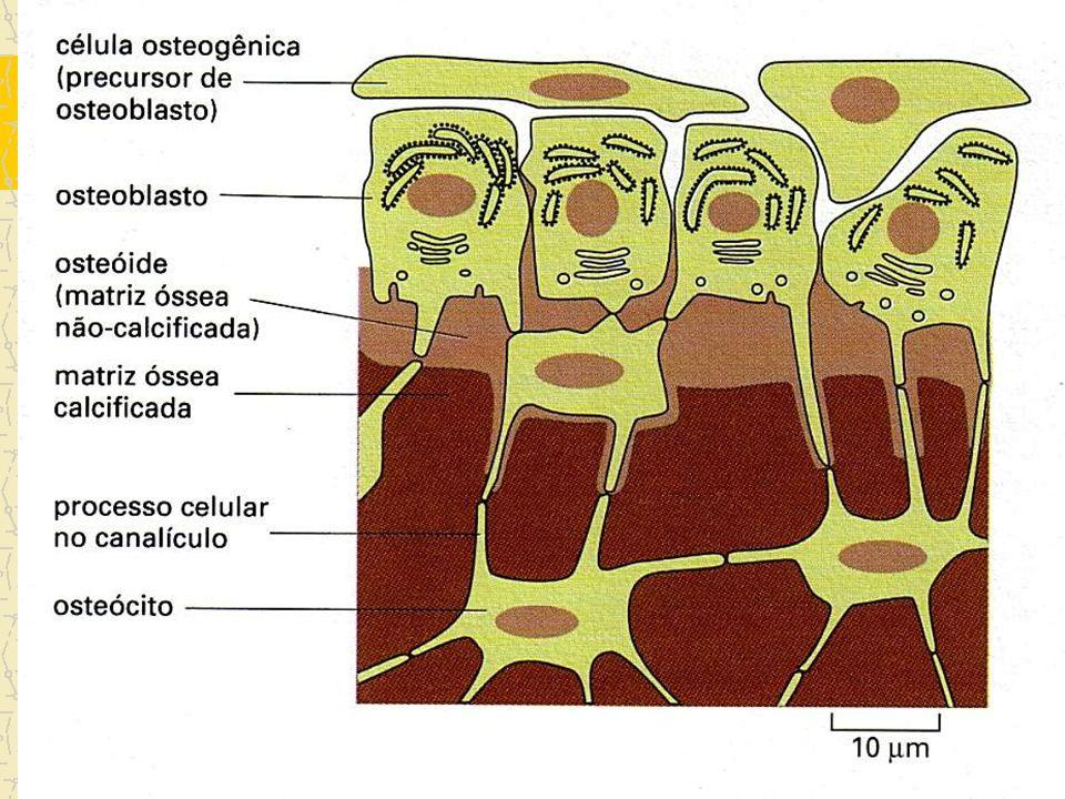 osteócitos Prolongamentos dentro dos canalículos