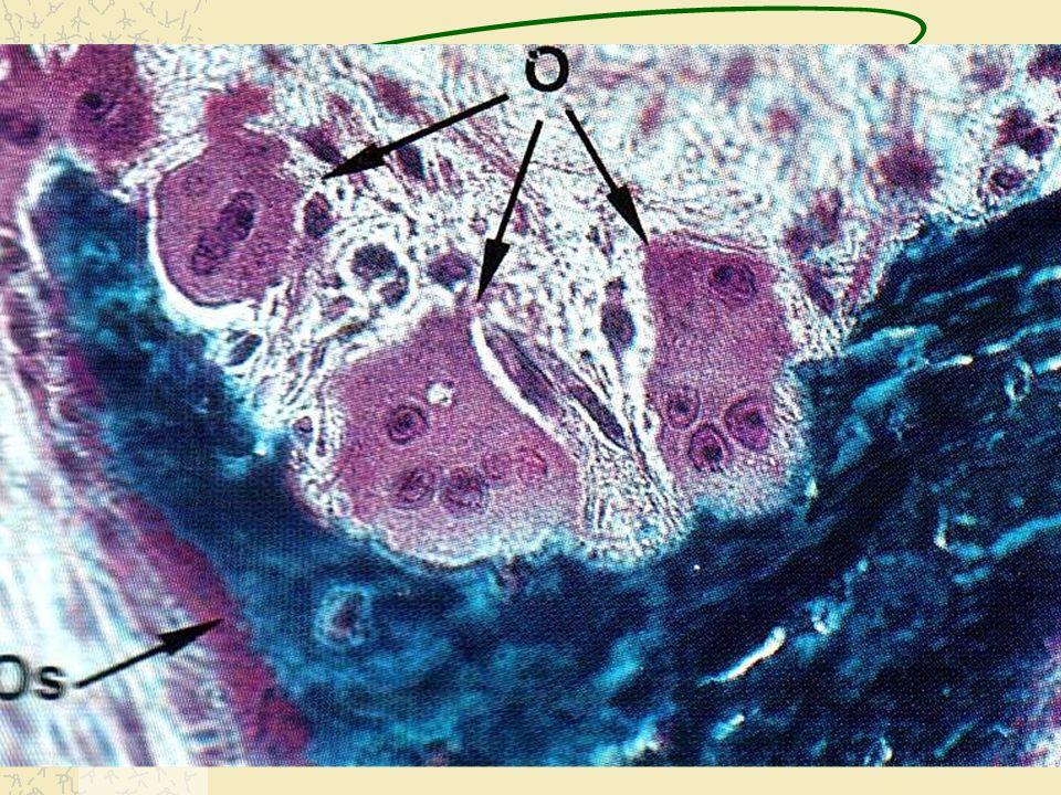 Osteoclasto Lacuna de Howship (Zona Pregueada)