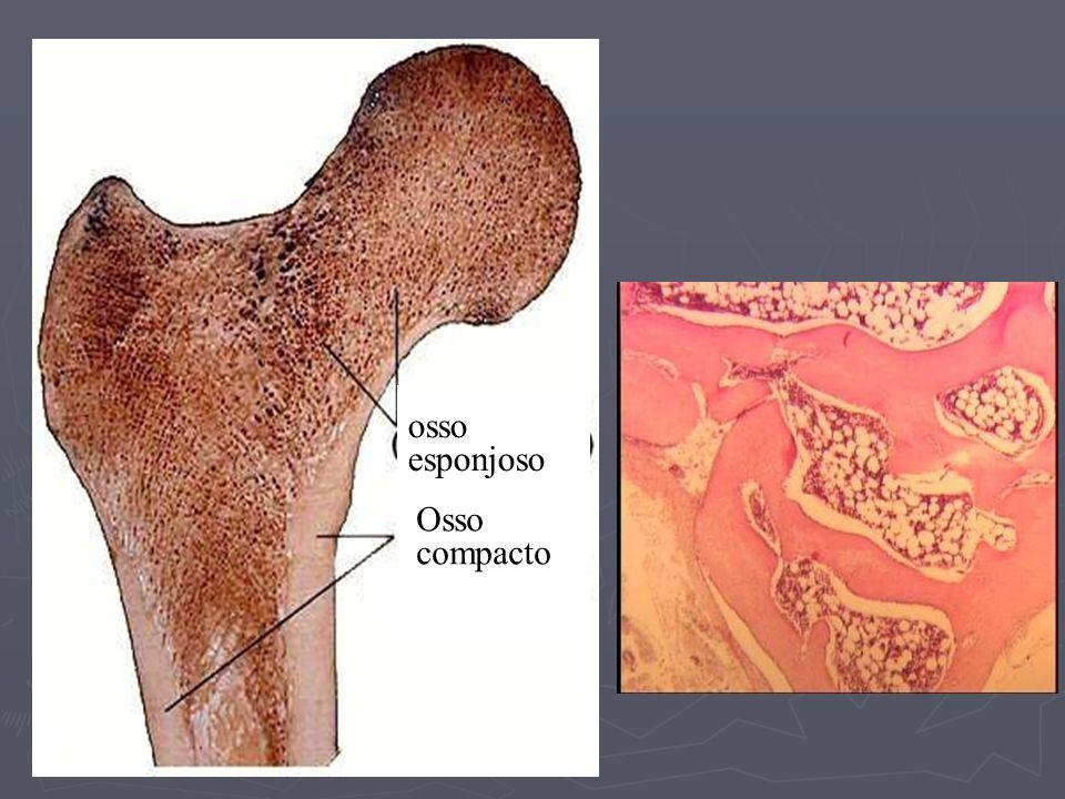 Endósteo
