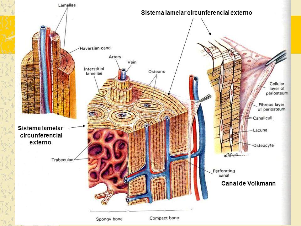 Sistemas Lamelares do Osso Compacto O osso compacto maduro possui 4 sistemas lamelares: -Sistema lamelar circunferencial externo (fibras de Sharpey) -