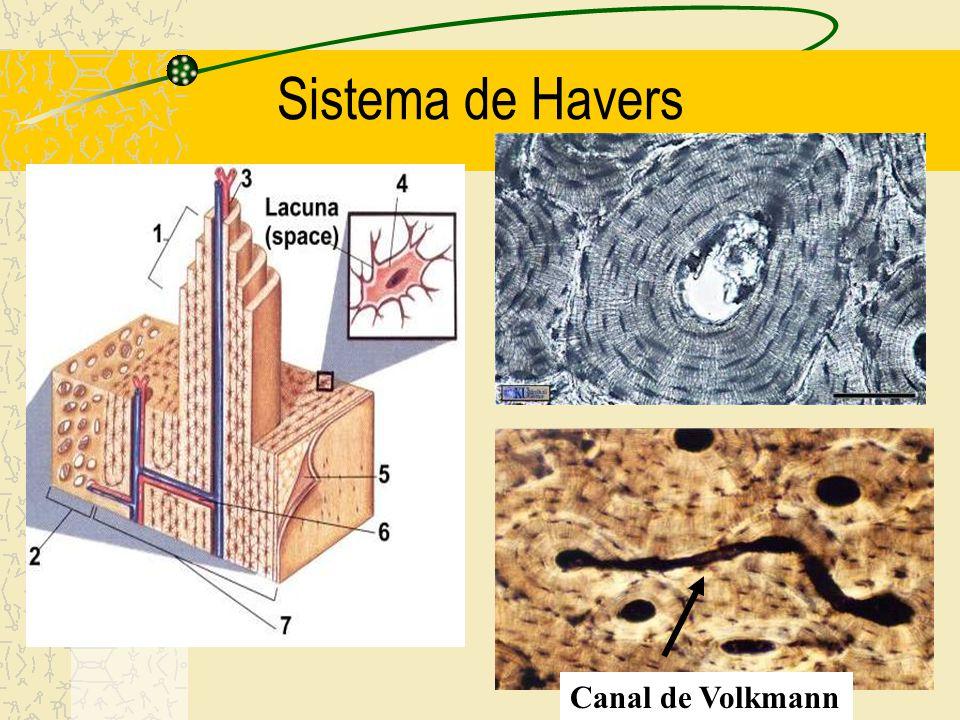 Sistema lamelar circunferencial externo Sistema lamelar circunferencial externo Canal de Volkmann