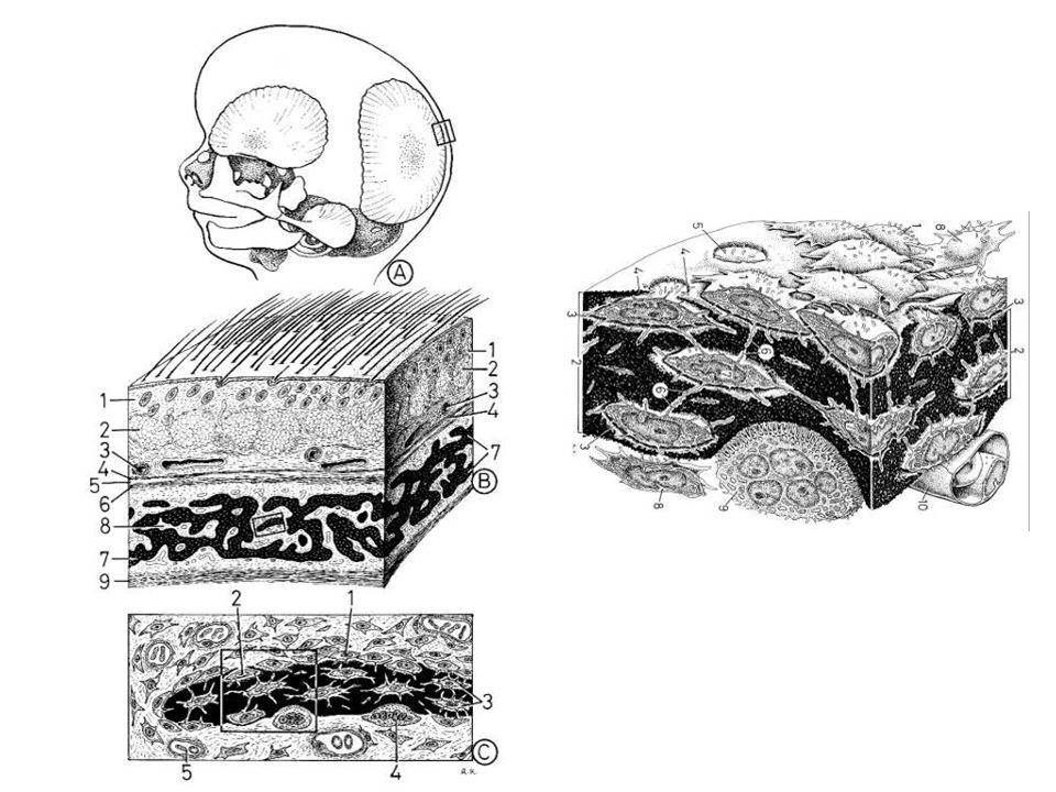 Histogênese do Osso Ossos Chatos: crescimento intramembranoso –Fontanelas- centros de ossificação não fundidos –Tábuas e díploe