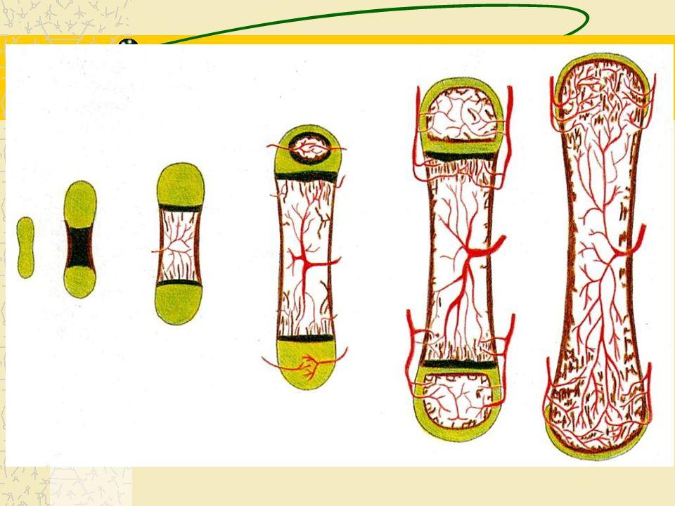 Histogênese do Osso Formação do osso pode ocorrer de duas formas : –Ossificação Intramembranosa: tecido mesenquimal osteogênicas osteoblastos osteócit
