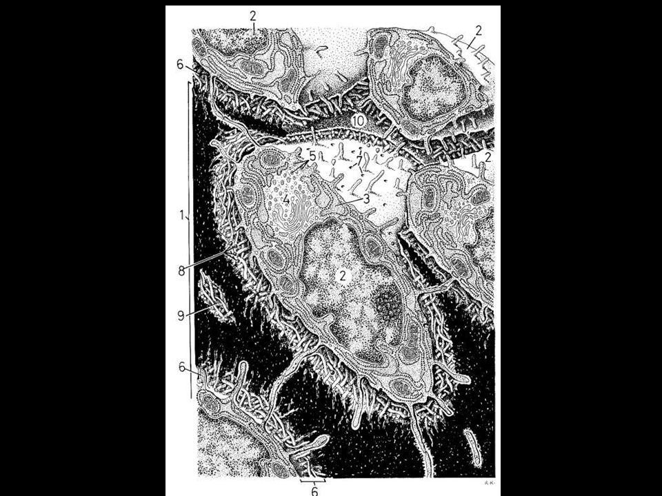 O colágeno confere resistência e os cristais a dureza do tecido ósseo Osteóide: Matriz óssea recém formada, adjacente aos osteoblastos ativos e que nã