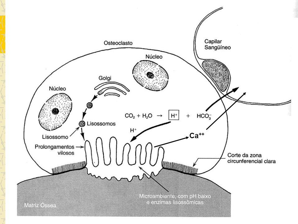 Histofisiologia Importância do cálcio –Turnover osso-sangue –Mobilização a partir de osteônios jovens Hormônios – Paratormônio: inibe osteoblastos e a