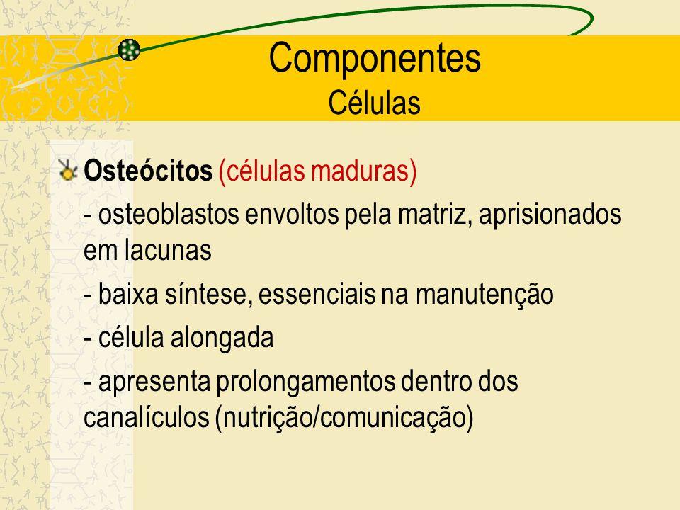 Células osteogênicas Osteoblastos Osteócitos