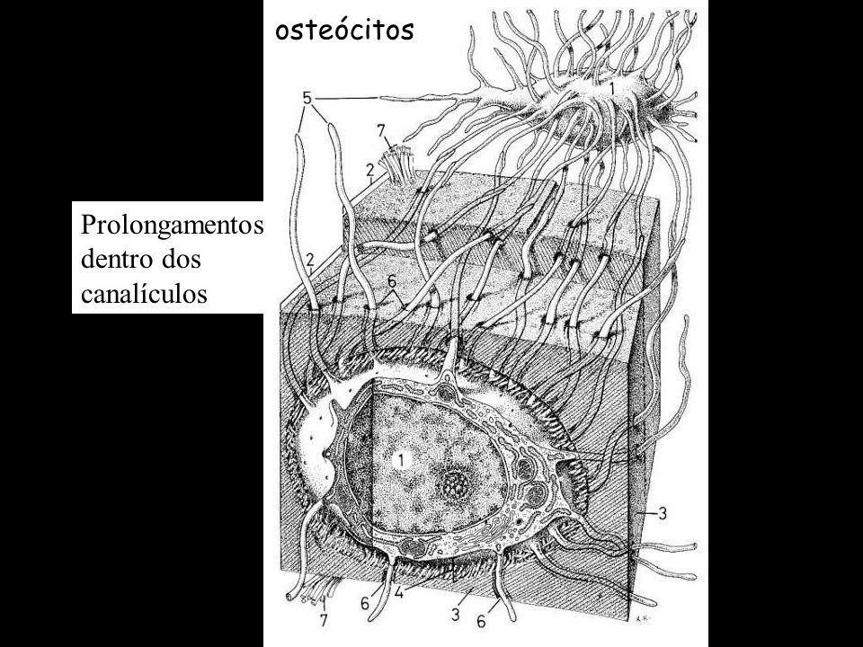 Componentes Células Osteócitos (células maduras) - osteoblastos envoltos pela matriz, aprisionados em lacunas - baixa síntese, essenciais na manutençã