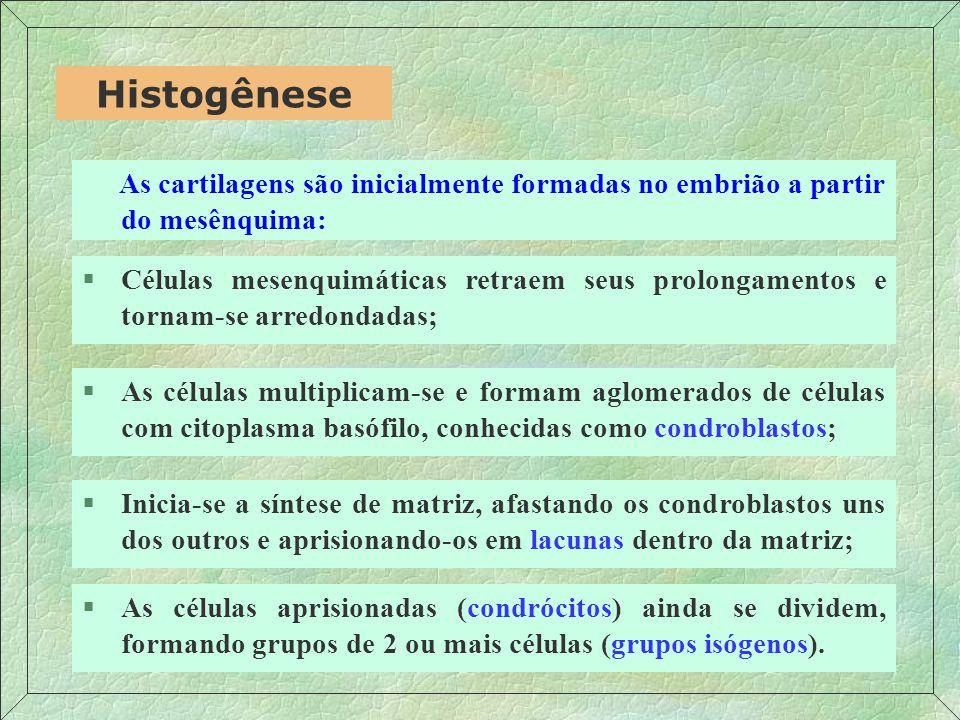 As cartilagens são inicialmente formadas no embrião a partir do mesênquima: Histogênese §Células mesenquimáticas retraem seus prolongamentos e tornam-se arredondadas; §As células multiplicam-se e formam aglomerados de células com citoplasma basófilo, conhecidas como condroblastos; §Inicia-se a síntese de matriz, afastando os condroblastos uns dos outros e aprisionando-os em lacunas dentro da matriz; §As células aprisionadas (condrócitos) ainda se dividem, formando grupos de 2 ou mais células (grupos isógenos).