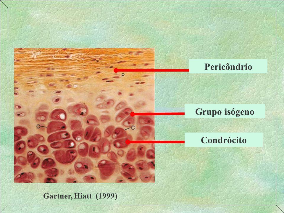 Cartilagem hialina – colágeno II Forma o primeiro esqueleto do embrião Responsável pelo crescimento dos ossos em extensão No adulto: fossas nasais, traquéia e brônquios, ossos longos Agrecana: importante na rigidez condroblasto pericôndrio Grupo isógeno Matriz territorial e interterritorial