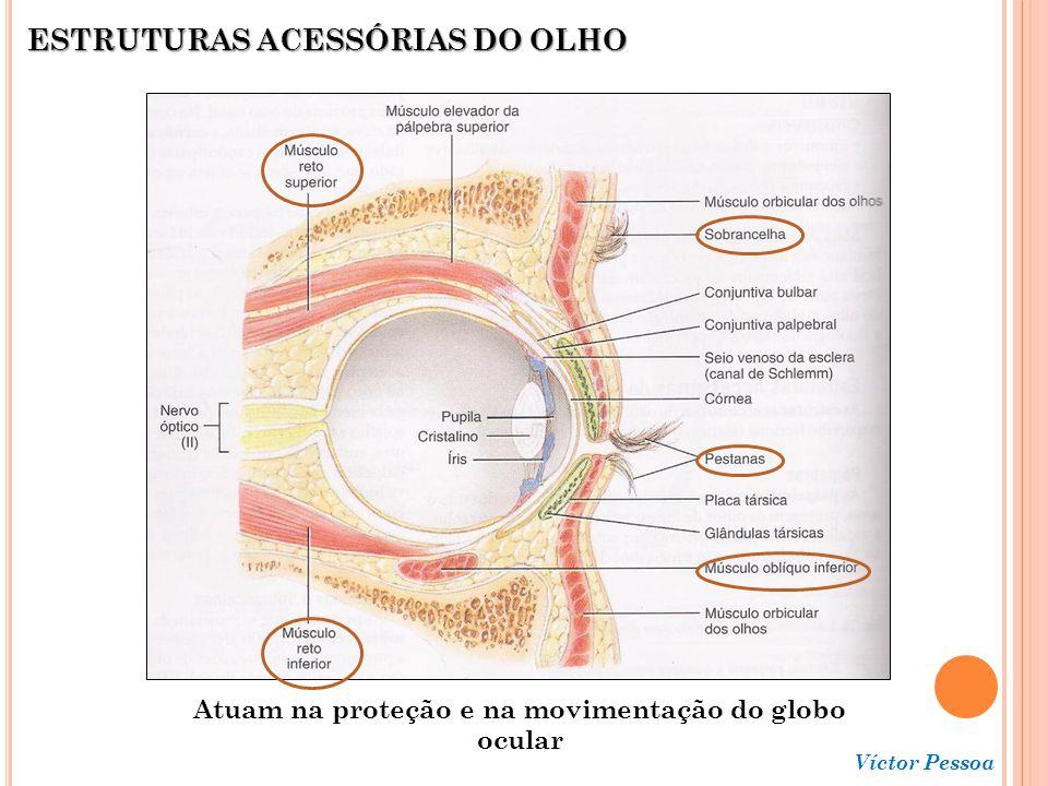 Víctor Pessoa Aparelho lacrimal - O líquido lacrimal é uma solução aquosa contendo sais, muco e LISOZIMA, a qual atua como bactericida.