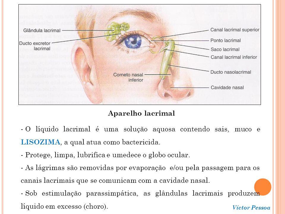 Víctor Pessoa Retina - Consiste de um epitélio pigmentado (parte não visual) e em uma porção neural (parte nervosa); - O epitélio pigmentado contém melanina, a qual absorve os raios luminosos dispersos, impedindo a reflexão e a dispersão da luz no interior do globo ocular (deixa a imagem precisa e nítida).