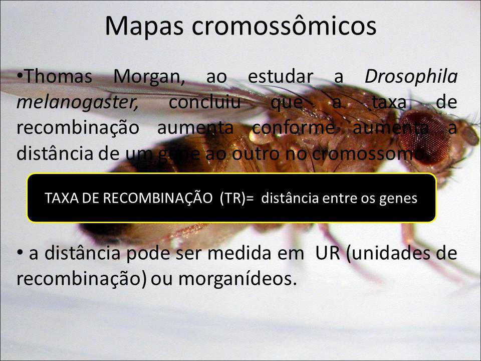 Mapas cromossômicos Thomas Morgan, ao estudar a Drosophila melanogaster, concluiu que a taxa de recombinação aumenta conforme aumenta a distância de u